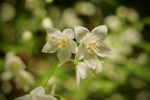 Maiblumenstrauch, Mayflower, Flowers, White Flowers