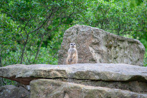Meerkat, Enclosure, Rock, Trees, Zoo