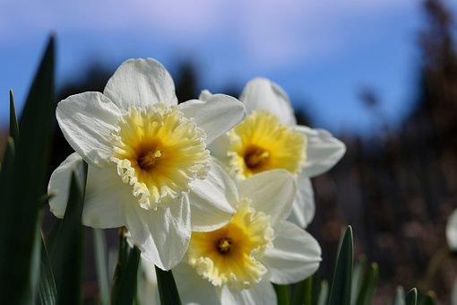 Narcissus, Daffodil, Flower Bed, Spring, Easter, Flower