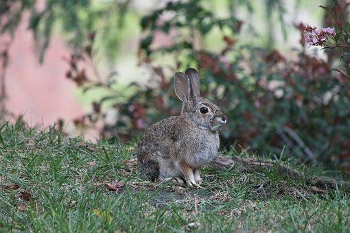 Ucla, Rabbit, Nature