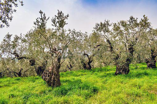 Olive Grove, Olive Tree, Plantation, Agriculture, Green