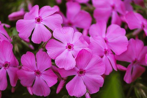 Phlox, Flame Flowers, Violet, Pink, Flower Garden