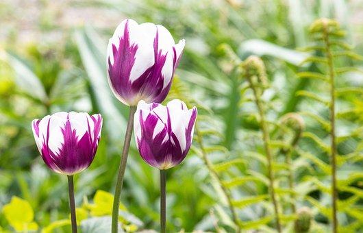 Tulip, Flower, Plant, Ornamental Plant, Flora, Flowers