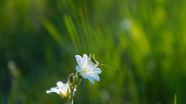 Nature, Plants, Meadow, White, Flowers, Rogownica