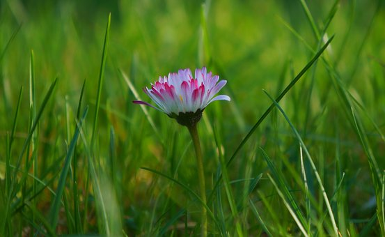 Nature, Plants, Meadow, White, Pink, Flowers, Daisies
