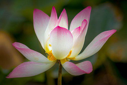 Lotus, Plant, Flower, Nature, Pond, Blossom, Pink