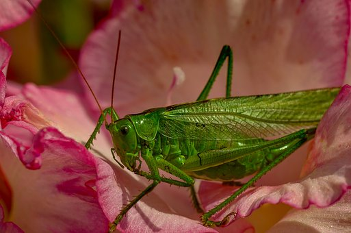 Viridissima, Green, Grasshopper, Close Up, Summer, Skip