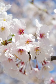 Cherry Blossoms, Sakura, Flowers, Pink, Spring, Natural