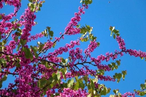 Flower, Judas Tree, Nature, Spring, Summer, Pink, Macro
