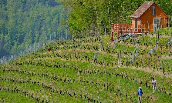 Landscape, Switzerland, Aargau, Birmenstorf, Vines