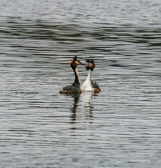 Great Crested Grebe, Bird, Water, Water Bird, Animal