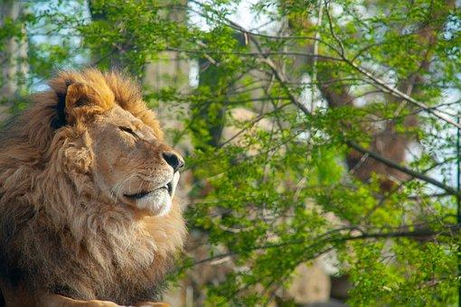 Lion, Animal, Dresden, Tusks, Nature, Wilderness, Zoo