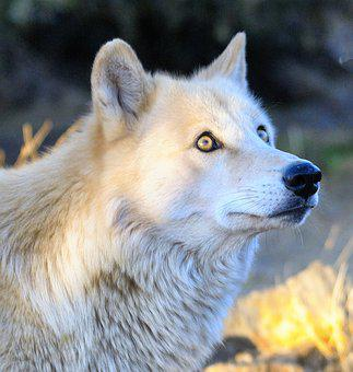 Wolf, Wolves, Animal, Predator, Nature, Wildlife