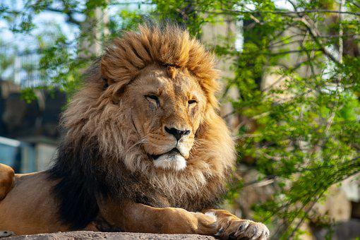 Wild Animals, Animal, Zoo, Dresden, Wild, Lion