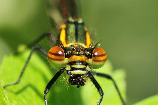Dragonfly, Early Adonis Dragonfly, Adonis Dragonfly