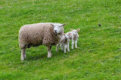Sheep, Lamb, Farm, Animals, Pasture, Wool, Grass, Rural