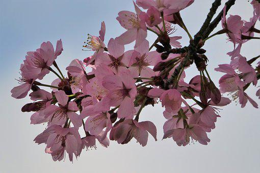 Blossom, Bloom, Cherry Blossom, Spring, Pink, Nature
