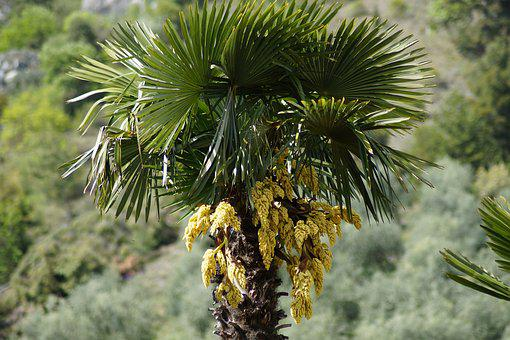 Hemp Palm, Palm, Palm Tree, Plant, Palm Flower, Blossom