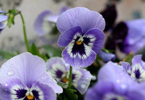 Pansy, Blue, Flower, Spring