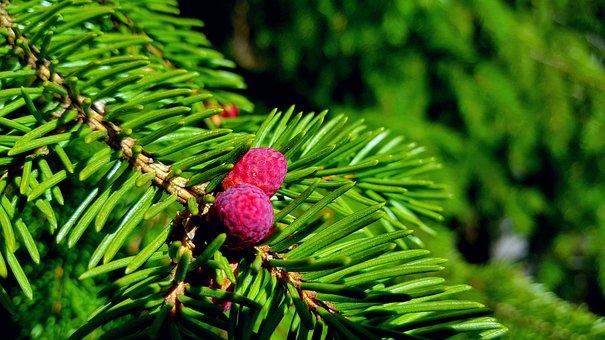Fir, Branch, Needles, Tree, Flower, Blossom, Buds, Pink