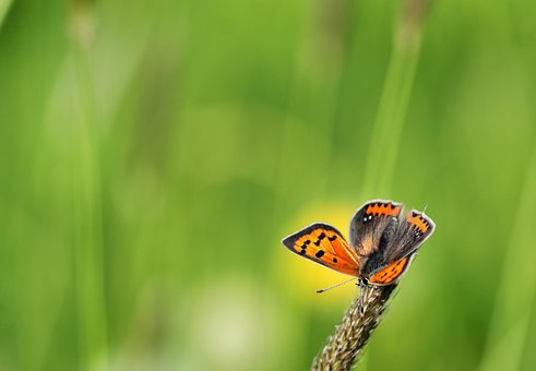 Small Fire Falter, Butterfly, Common Blue, Summer