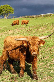 Beef, Agriculture, Cow, Animal, Cattle, Pasture