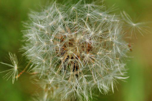 Dandelion, Nature, Seeds, Plant, Flower, Close Up