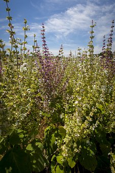 Clary Sage, Eastern, North Carolina, Crop, Agriculture