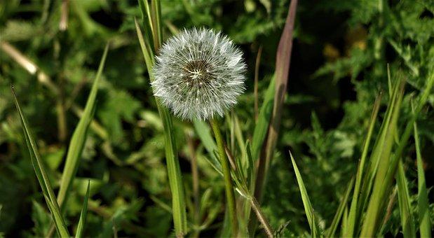 Dandelion, Close Up, Macro, Flower, Nature