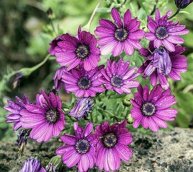 Osteospermum, Margaritas Cape, Violet, Flowers
