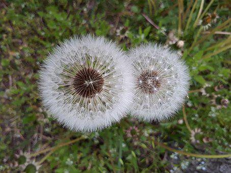 Dandelion, Mr Hall, Seeds, Flowers, Nature, Spring