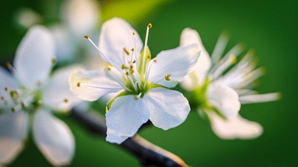 Blossom, Bloom, Fruit Tree, Spring, Nature, Bloom