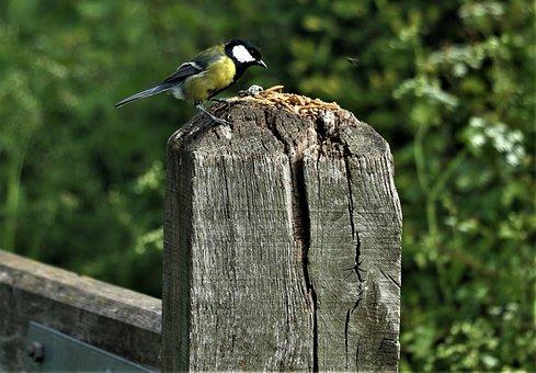 Bird, Yellow Tit, Tit, Nature, Garden, Song Bird