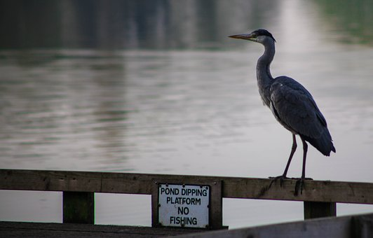 No Fishing, Grey Heron, Heron, Standing, Water, Lake