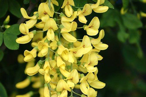 Laburnum, Yellow, Bean Tree, Gold Rush, Yellow Shrub