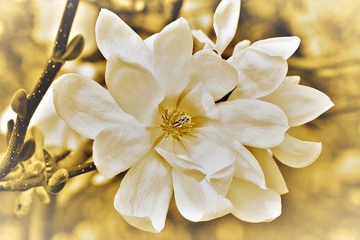 Magnolia, Magnolia Tree, Flowers, Magnolia Blossom