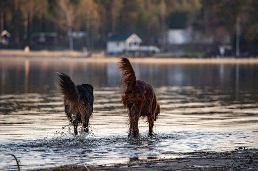Mongrel, Irish Setter, Dog, Animal, Mammal, Male