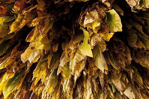 Burley, Tobacco, Mountains, Cigarette, Foliage