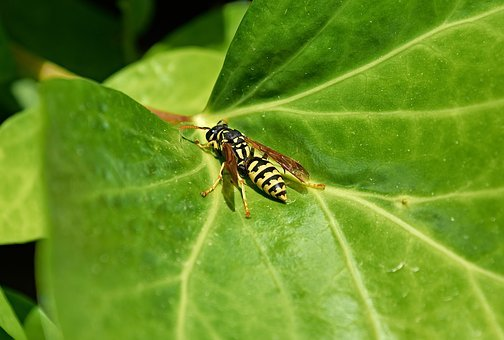 Wasp, Nature, Insects, Sting, Hornet