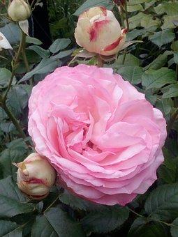 Pink, Pierre De Ronsard, Climbing, Flower, Floral