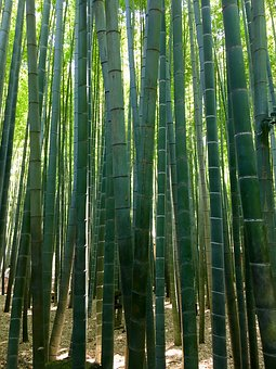 Bamboo, Japan, Asia, Forest, Nature, Green, Plant