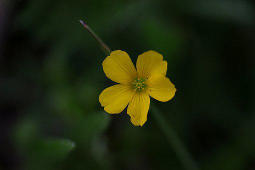 Flower, Yellow, Wild, Supplies, Plant, Spring, Coloring