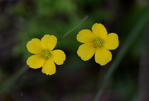 Flower, Two, Yellow, Wild, Supplies, Plant, Spring