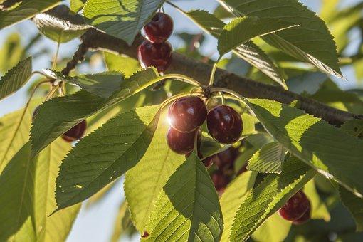Cherries, Cherry, Tree, Fruit, Red, Ripe, Delicious