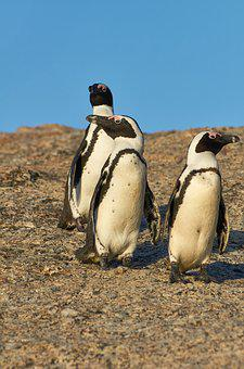 Penguins, South Africa, Boulders Beach, Animal