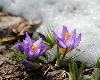 Flowers, Snow, Spring, Garden, Bright, Crocuses, Flora