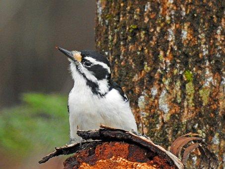 Hairy Woodpecker, Woodpecker, Pic, Beak, Tree, Trunk