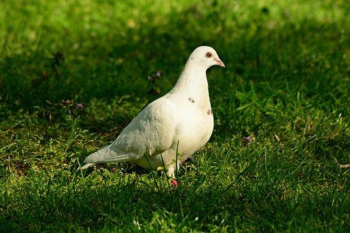 White Dove, Rock Dove, Pigeon, Bird, Animal, Feather