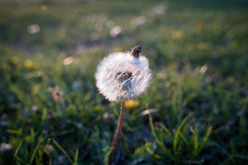 Dandelion, Macro, Public Record, White, Green, Seeds