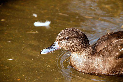 Duck, Water, Ducks, Lake, Pond, Wild, Beautiful, Nature